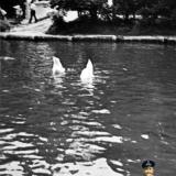 Краснодар. Лебеди на пруд городского парка им. А. М. Горького, около 1969 года