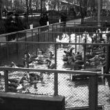 Краснодар. КСХПВ. Животноводческий сектор. Птичник с гусями, 1956 год