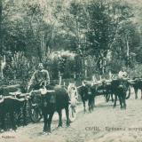 Сочи. Буйволы, везущие тяжести, до 1917 года