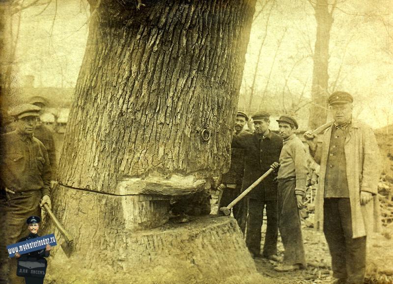 Краснодар. Спиливание векового дуба