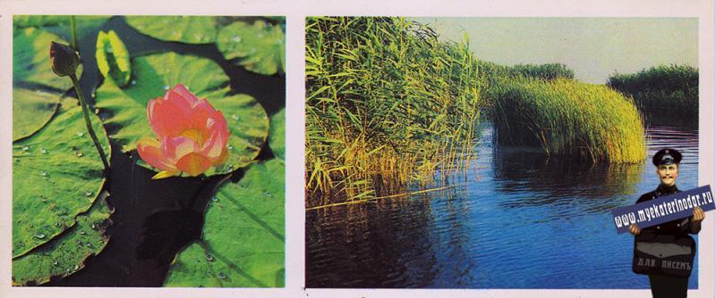 Приморско-Ахтарски. Индийский лотос. Садковские плавни. 1986 год